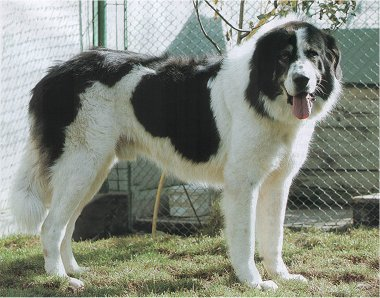 Bucovina_Sheepdog