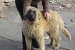 Pies górski z Estrela